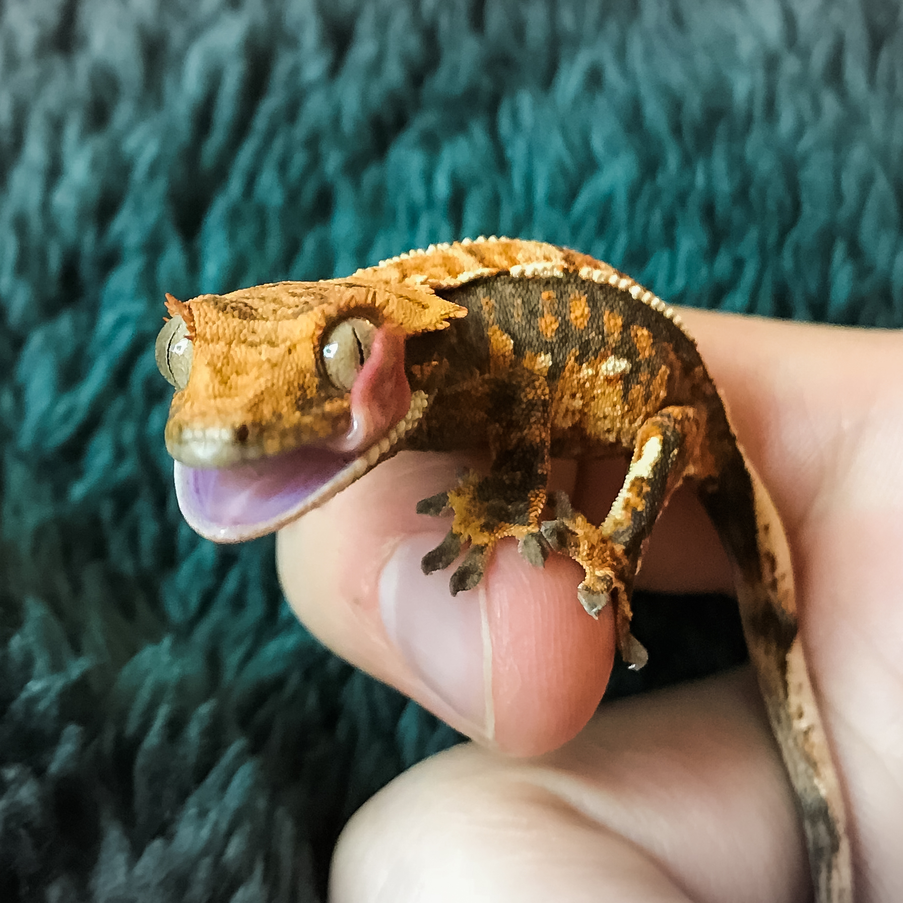 Caring for a Crested Gecko | American Veterinary Hospital